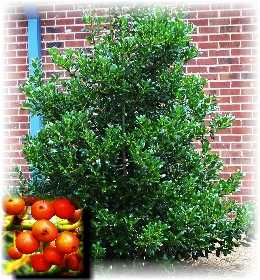 miniature holly bush