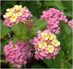 Perennial lantana mightylinksfo