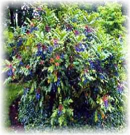 Best foundation shrubs for Low maintenance foundation shrubs