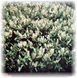 Flowering shrubs for the south wilson bros nursery mightylinksfo
