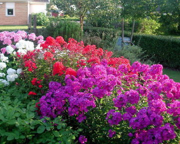 garden phlox are available in a wide range of pink rose red lavender purple and white along with bi colors that have an eye in the center of each - Tall Garden Phlox