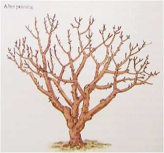 OTHER PRUNING TIPS FOR FRUIT TREES